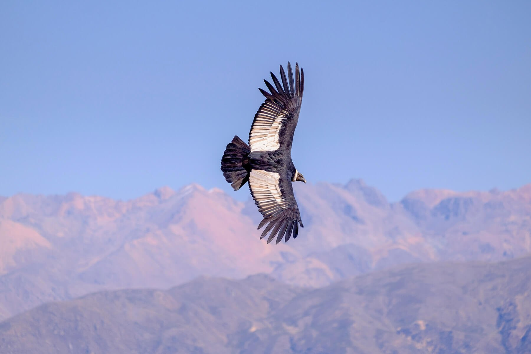 Condor flies above the Colca Canyon in Peru