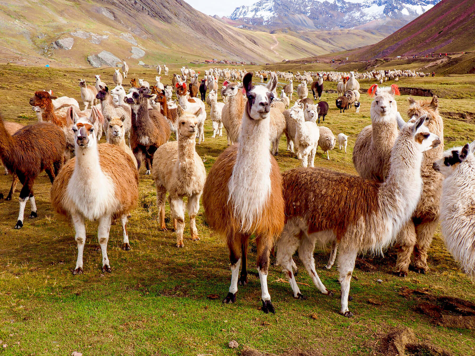 Lamas and alpacas are found everywhere in Peru