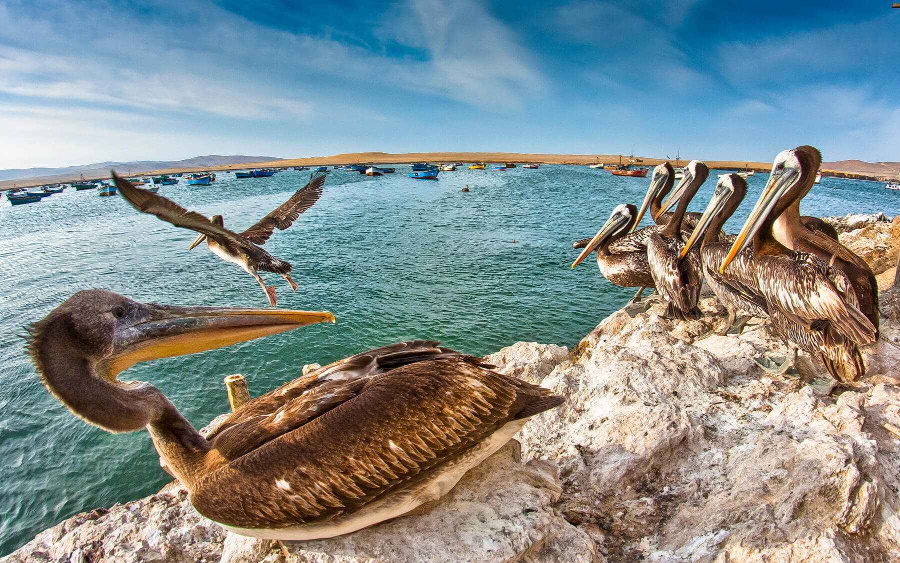 Pelicans at Islas Ballestas in Peru